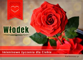 Róża dla Włodka
